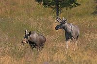 Elch, Kuh und Bulle, Männchen und Weibchen, Alces alces, Elk, Elan