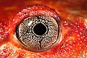 Close up of eye of Tomato frog {Dyscophus antongili} Maroantsetra, Northeast Madagascar