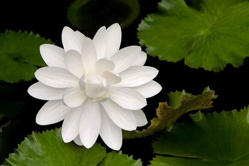 White tropical Lily. Hughes water Garden. Oregon