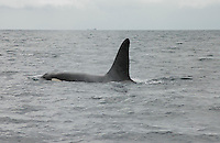Killer Whale, (Orca) off the point of Ardnamurchan, Sea of the Hebrides, Scotland.