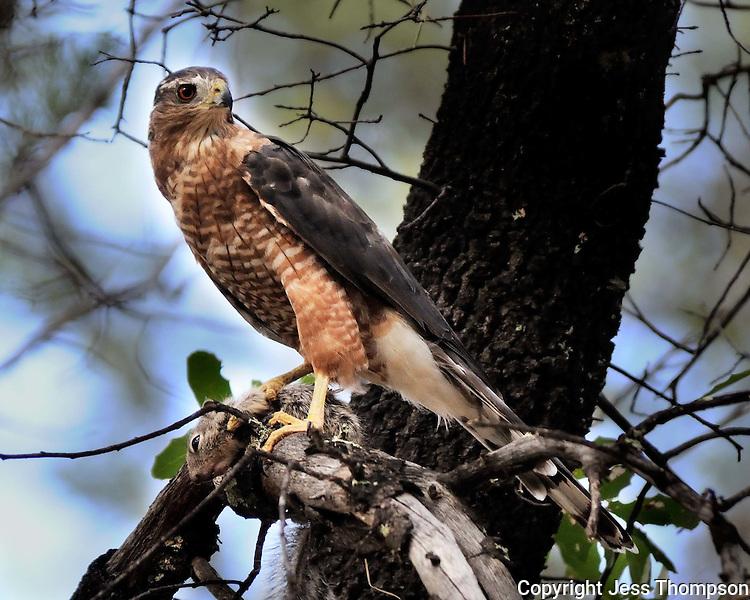 Cooper's Hawk with Squirrel, Arizona