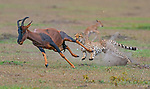 A pair of cheetahs hunt down a gazelle by Dhritiman Mukherjee