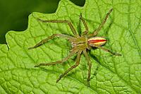 Grüne Huschspinne, Männchen, Micrommata virescens, Micrommata rosea, Micrommata roseum, green spider, green huntsman spider, male