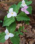 Shenandoah National Park, VA<br /> Pink and white Large-flowered Trillium (Trillium grandiflorum)