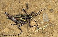 0722-07oo  Eastern Lubber Grasshopper - Romalea guttata  © David Kuhn/Dwight .Kuhn Photography