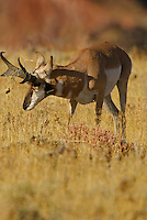 Pronghorn (Antilocapra americana) buck tearing up grass with horns during fall rut.  Western U.S.