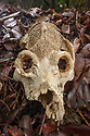 Skull of giant extinct 'sloth lemur' (Palaeopropithecus kelyus). Recovered from underground coastal cave systems near Anjajavy. Photographed on leaf-litter in dry deciduous forest near Anjavavy, north west Madagascar.