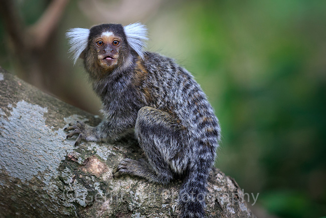Common marmoset. Crato, Ceará, Brazil.