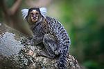 Common marmoset. Crato, Ceará, Brazil.