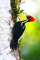 Female pale-billed woodpecker