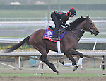 Point of Entry, trained by Shug Mcgaughey, exercises in preparation for the upcoming Breeders Cup at Santa Anita Park on November 1, 2012.