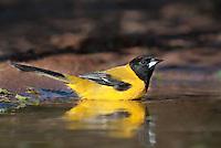 561850015 a wild brilliant yellow audubon's oriole icterus graduacauda bathes in a small pond on beto gutierrez santa clara ranch hidalgo county lower rio grande valley texas united states