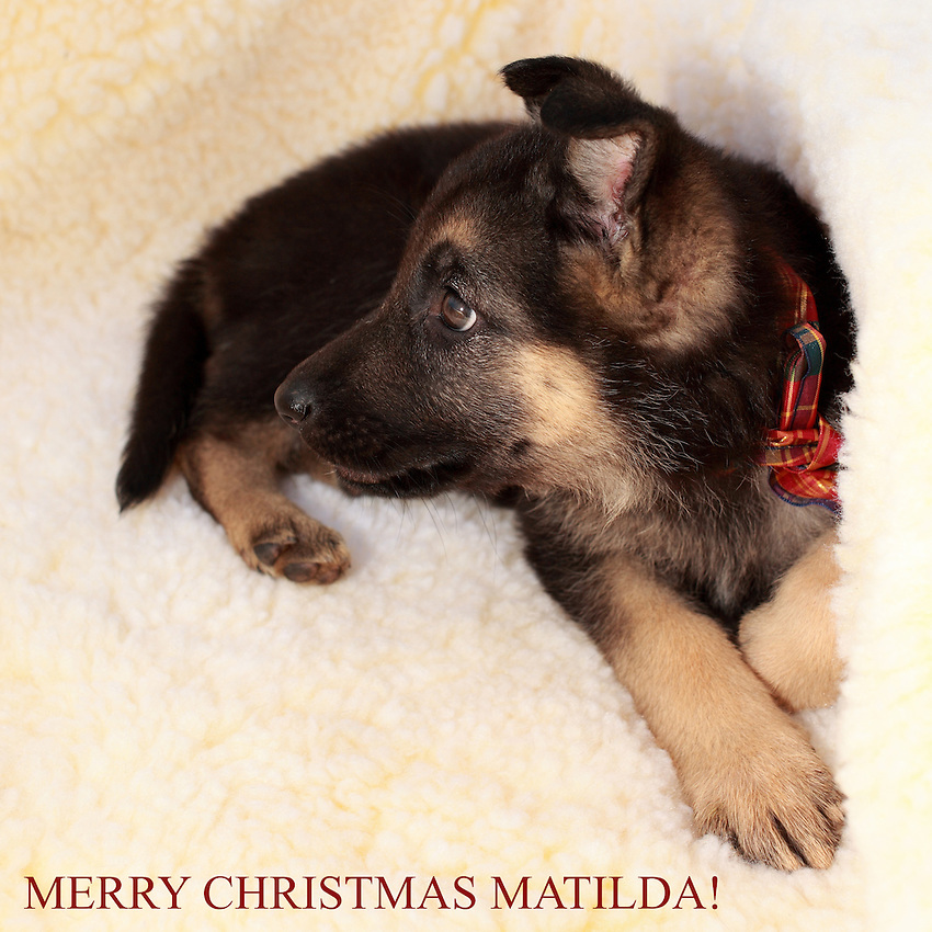 Our 8 week old AKC German Shepard pup in her new bed, just brought Matilda home yesterday.<br /> Loveable, clumsy, & cute, she loves to untie my shoes ;)<br /> Merry Christmas Everyone!
