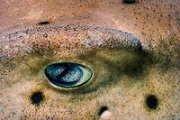 eye of horn shark, Heterodontus francisci, Channel Islands, California, USA, East Pacific Ocean