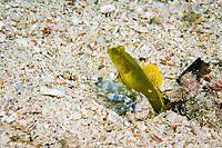 Banded shrimp goby, Cryptocentrus cinctus, Kawe Island, Raja Ampat, Indonesia, Pacific Ocean