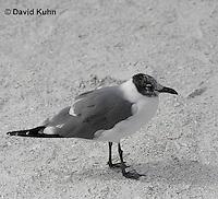 0711-0805  Immature Franklin's Gull, Larus pipixcan ©David Kuhn/Dwight Kuhn Photography