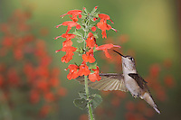 Broad-tailed Hummingbird, Selasphorus platycercus,female in flight feeding on Lady in Red Sage (Salvia coccinea),Rocky Mountain National Park, Colorado, USA, June 2007
