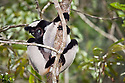 Indri {Indri indri} in tree looking down, tropical rainforest, Andasibe-Mantadia National Park, Madagascar. IUCN Endangered Species.
