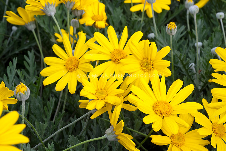 Argyranthemum Butterfly in yellow annual flowers