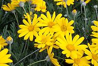 Argyranthemum Butterfly in yellow annual flowers