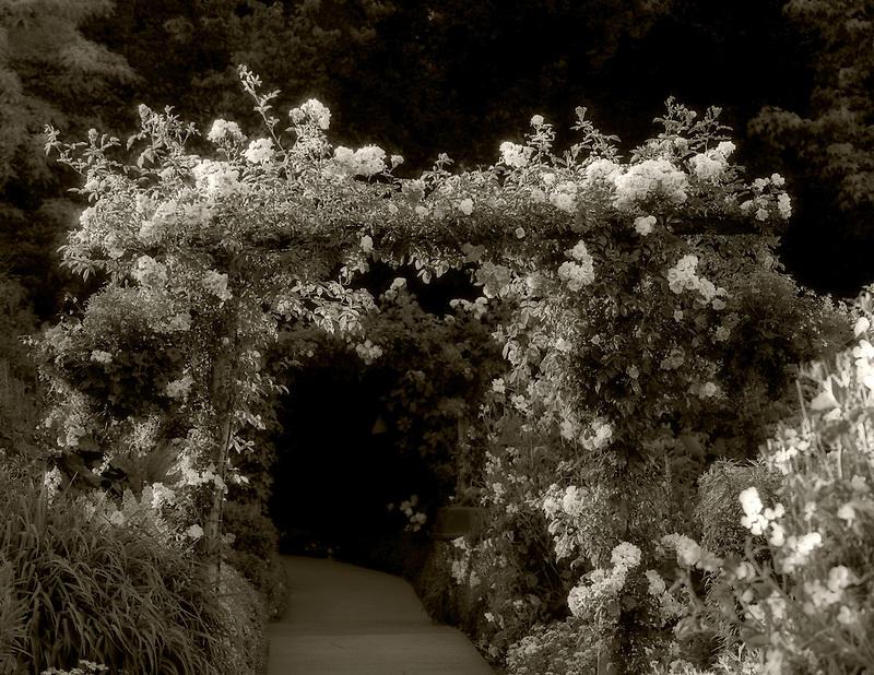 Pink roses on arbor. Butchart Gardens, Victoria, British columbia, Canada