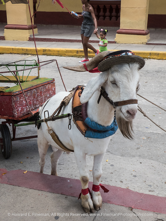 Theatrical goat, pulling cart, Trinidad