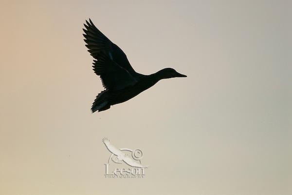 MALLARD DUCK (Anas Platyrhynchos) hen flying against early morning sky.  Pacific Northwest.  Winter.