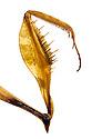 Violin Mantis {Gongylus gongylodes} detial of grabbing arm used to catch prey. Museum specimen originating from India & Sri Lanka. website