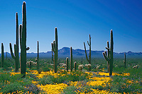 Mexican goldpoppy and saguaros<br /> Valley of the Ajo,  Diablo Mountains<br /> Organ Pipe Cactus National Monument<br /> Sonoran Desert,  Arizona