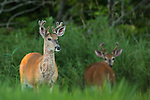 Young white-tailed bucks in summer