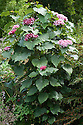 Glory flower (Clerodendrum bungei), mid August.