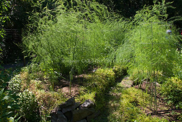 Asparagus plants growing vegetable, caged upright