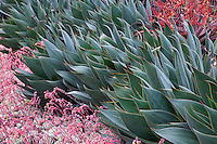 Agave 'Blue Flame' in succulent display garden at Succulent Gardens, Castoville, California