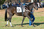 07 November 2009: Country Cousin in the paddock before the Constitution Hurdle  at Montpelier Hunt Races in Orange, Va.