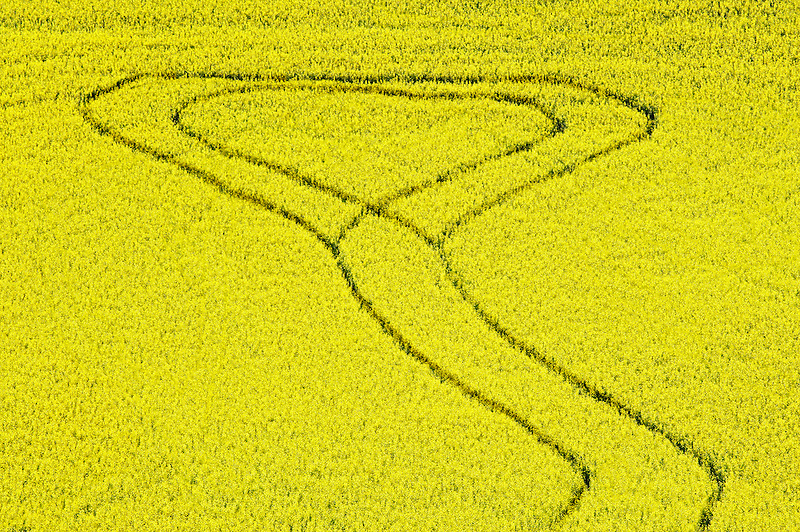 Vehicle road pattern in field of canola. The Palouse near Colfax, Washington