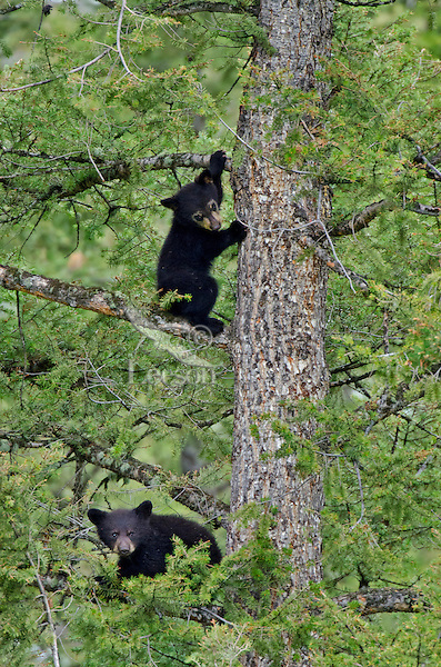 """Wild Black Bear (Ursus americanus) cubs playing safely in tree while mom forages on the ground.  Western U.S., spring. (This is what is known as """"coys""""--cubs of the year.)"""