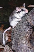 Eikelmuis (Elyomis quercinus)
