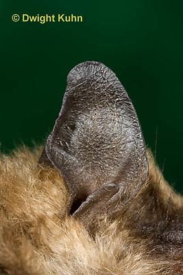 MA20-821z  Big Brown Bat close-up of ear and thin tragus, Eptesicus fuscus