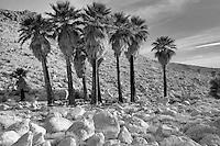 Palm trees at Mountain Palm Springs. Anza Borrego Desert State Park, California