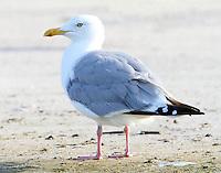 Adult herring gull in breeding plumage, Oct 3.
