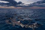 Tiger Beach, Grand Bahama Island, Bahamas; several lemon sharks swimming at the water's surface at sunset