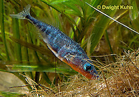 1S22-538z  Male Threespine Stickleback shaping nest by pushing plant materials with it mouth, mating colors showing bright red belly and blue eyes,  Gasterosteus aculeatus,  Hotel Lake British Columbia