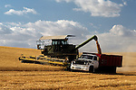 Combine in wheat field cutting wheat and putting wheat into truck Eastern Washington State USA.
