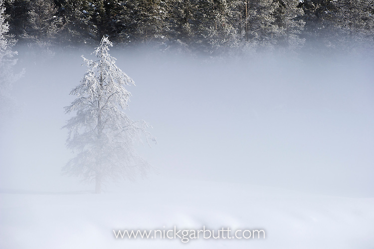 Lodgepole Pines (Pinus contorta), frost and early morning mist. Hayden Valley, Yellowstone National Park, Wyoming, USA. January