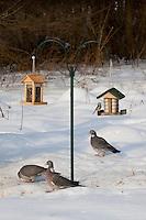 Ringeltaube, Ringel-Taube, Ringel - Taube, an der Vogelfütterung, Fütterung im Winter bei Schnee, frisst Körner am Boden unter Vogelhäuschen, Winterfütterung, Columba palumbus, Wood Pigeon, woodpigeon, Pigeon ramier