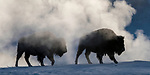 American Bison (Bison bison) in steam / mist near a geothermal feature on a very cold morning. Firehole River Valley. Yellowstone National Park, Wyoming, USA. January