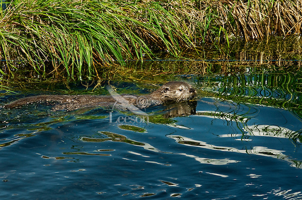 Young Northern River Otter (Lontra canadensis) pup swimming near grass covered log along edge of lake.  Western U.S., summer.  While this pup has been swimming for a week or so, it still has a lot to learn about its water world..
