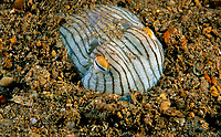 striped pyjama squid, Sepioloidea lineolata, an endemic species of bobtail squids, buried in sand for protection from predators, Edithburgh, South Australia, Australia