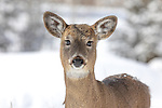 White-tailed fawn on a winter's day in norther Wisconsin.
