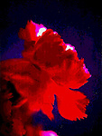 Digital Abstract Photography, Digital Art Photography, Digital Effect Photography, Abstract Art Photography, Florescent, tapestry, photo painting, image manipulation, artistic photography, flowers, insects, food, animals, objects,